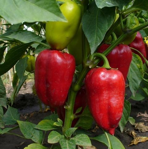 Правильное выращивание рассады сладкого перца