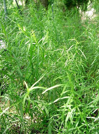 Растение тархун и его выращивание
