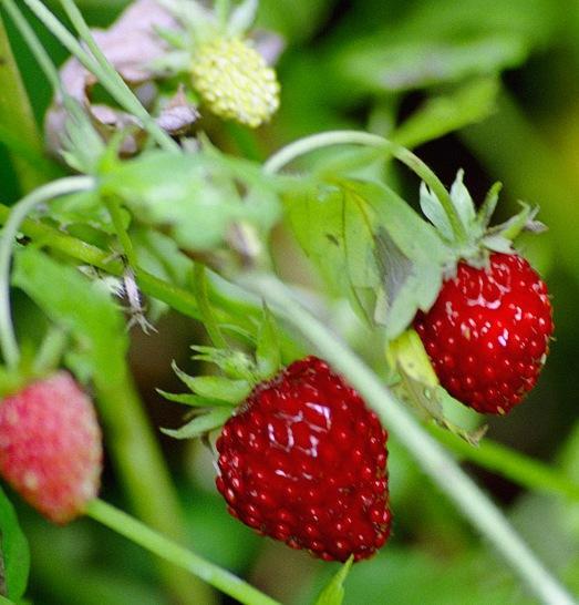 Пересадка земляники и ее выращивание