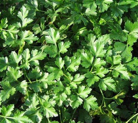 Петрушка корневая и ее выращивание