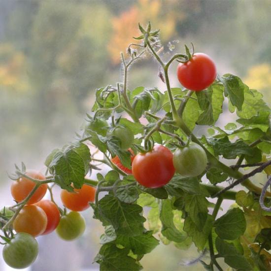 Правильная посадка помидор в открытый грунт
