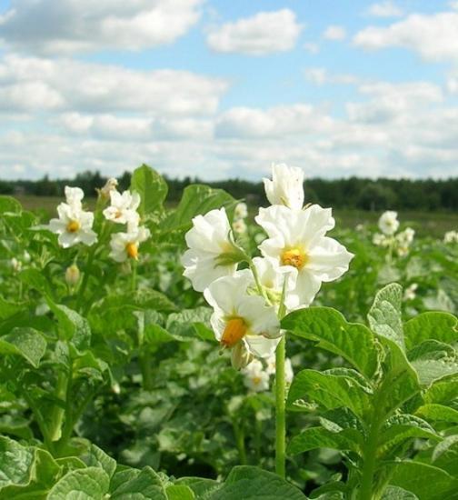 Самые благоприятные дни для посадки картофеля