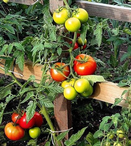 Правильная посадка рассады помидор