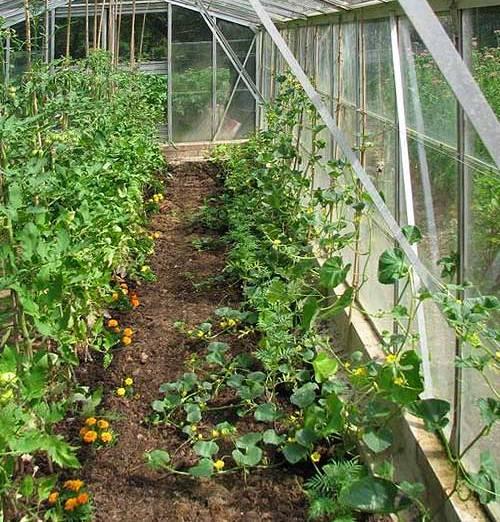 Выращивание огурцов в парниках и открытом грунте