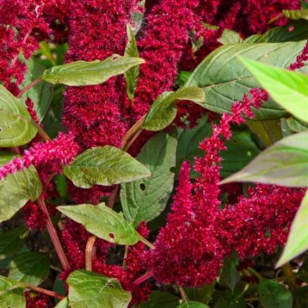 Растение амарант и его выращивание