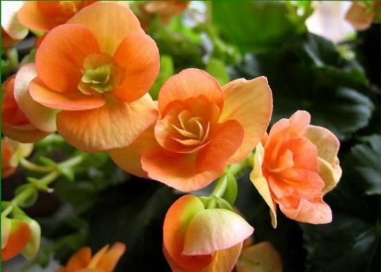 Каким должен быть уход за бегонией цветущей?