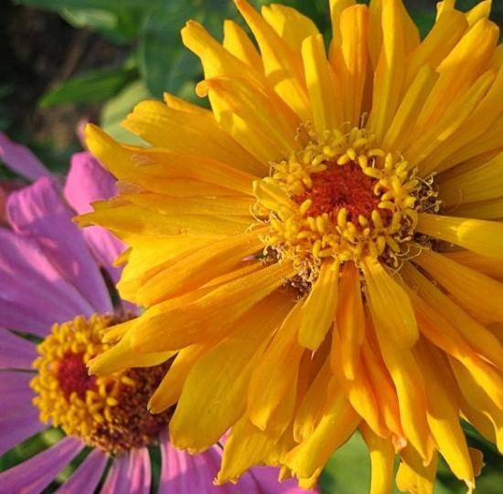Циния кактусовидная и уход за ней