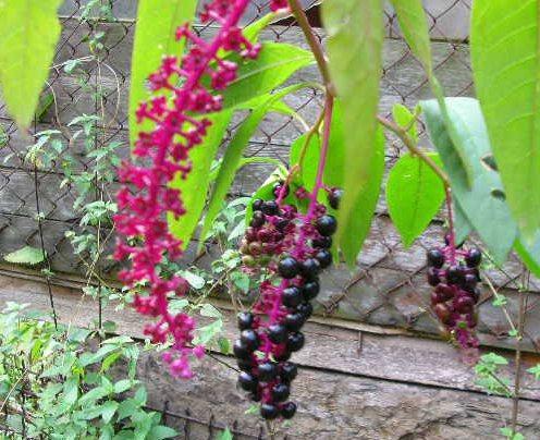 Растение лаконос и его целебные свойства