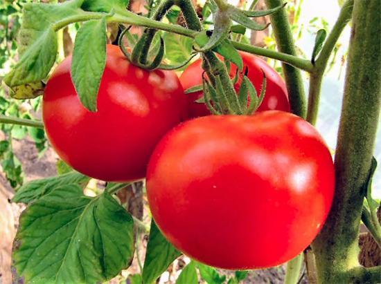 Томат астраханский и его выращивание