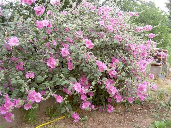 Цветы лаватеры