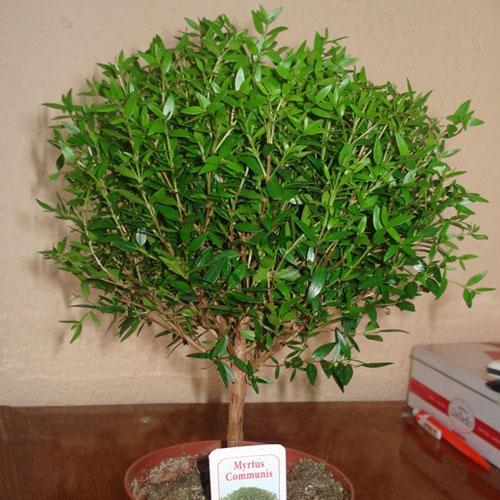 Мирт: уход в домашних условиях + фото миртового дерева