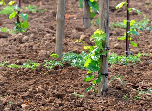 Пересадка винограда на новое место осенью