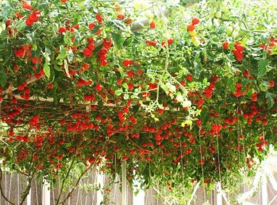 http://ogorodsadovod.com/sites/default/files/imagecache/resizeimgpost-500-500/u79/2015/03/tomato.jpg