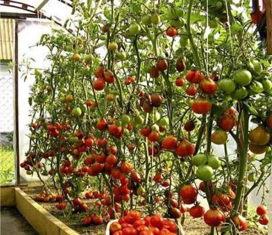http://ogorodsadovod.com/sites/default/files/imagecache/resizeimgpost-500-500/u79/2015/03/tomato1.jpg
