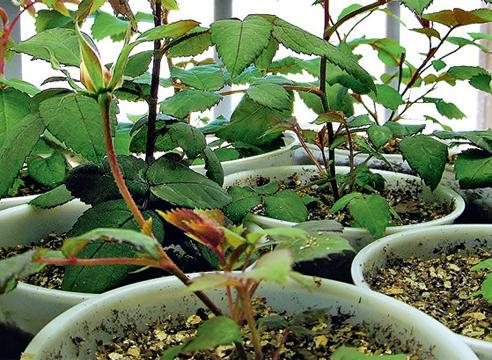 Как розы посадить семена