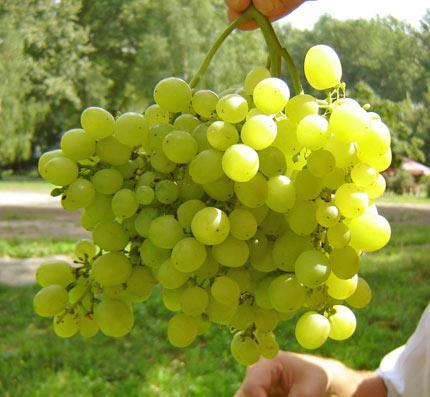 Виноград алешенькин описание сорта фото