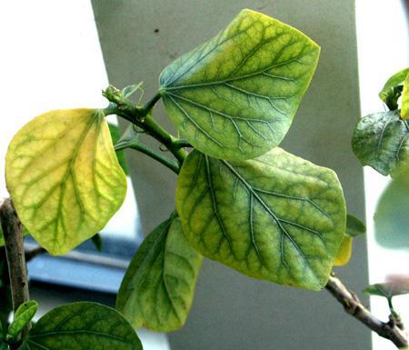Хлороз на листе