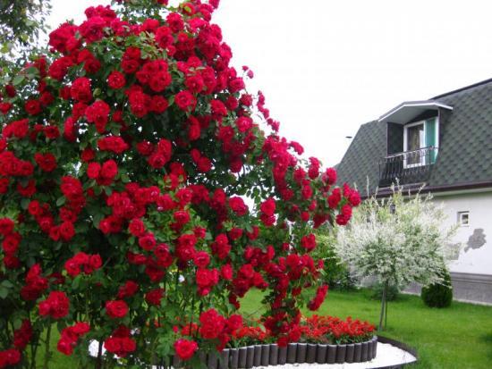 Плетистая роза
