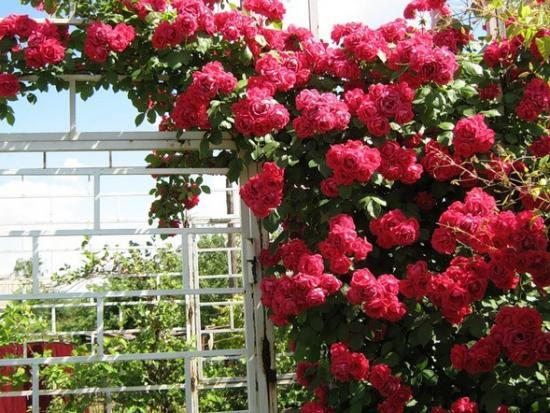 Плетистая роза беседка
