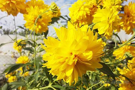 Золотой шар цветок