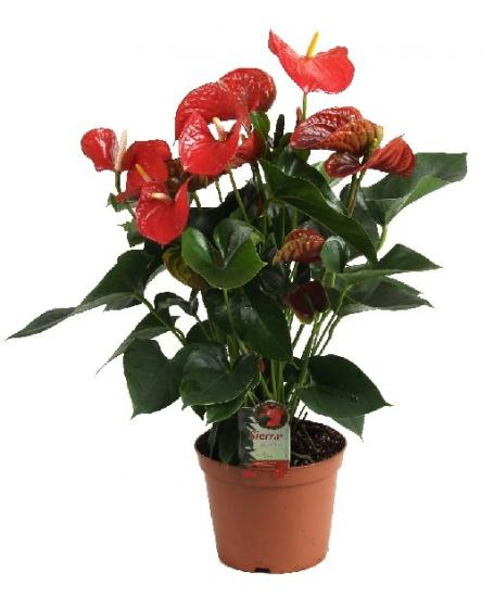 Антуриум цветение ( anturium)