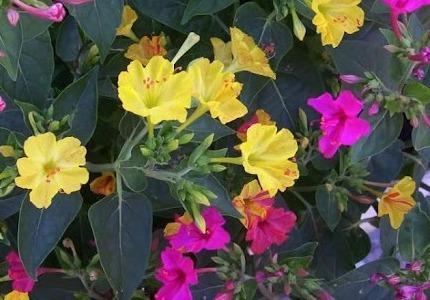 Цветок мирабилис посадка и уход