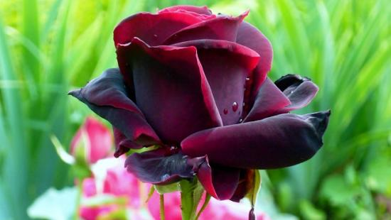Black prince роза