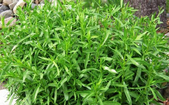 Трава тархун ( эстрагон)