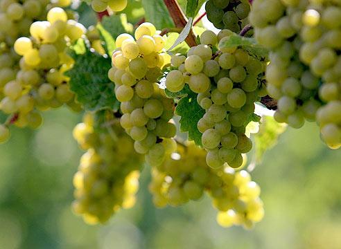 Виноград из косточки выращен