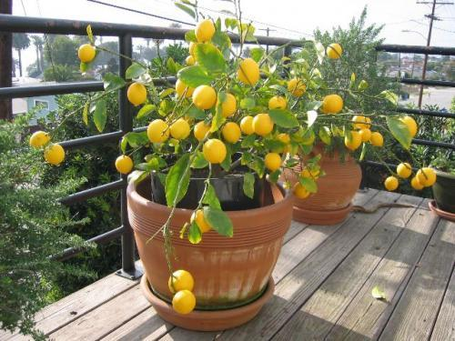 Лимон дома на балконе