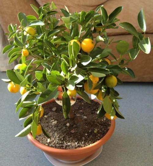 Лимон в доме