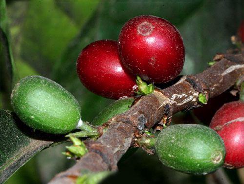 Плоды кофейного дерева