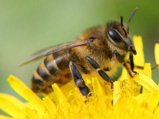 Канди необходим для пчел