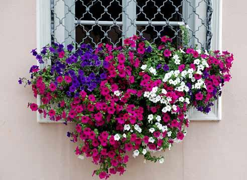 Купить цветы петунии рассаду — 1