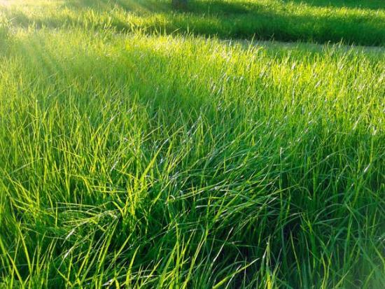 Полевица, трава для газона