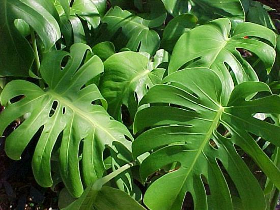Монстера (листья)