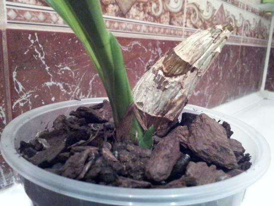 Орхидея из Вьетнама (посадка)