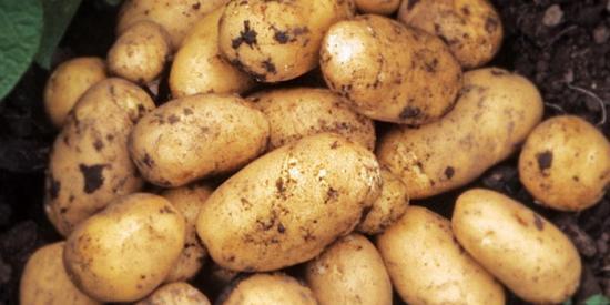 Ранний картофель,  урожай