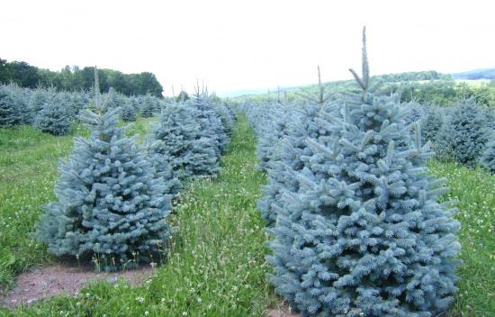 Голубая ель деревья