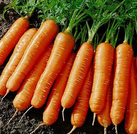 Морковь на зиму