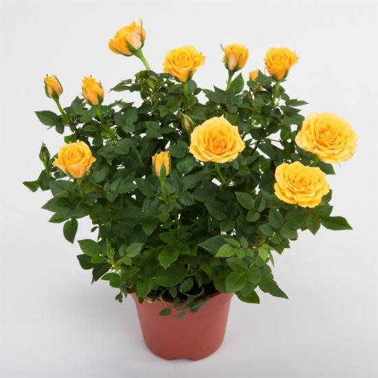 Роза желтая в горшке