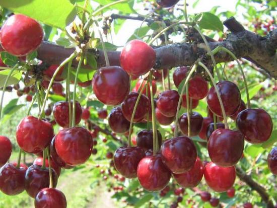 Черешня на вишне