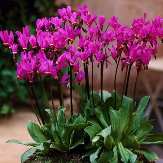 Цветі Додекатеона