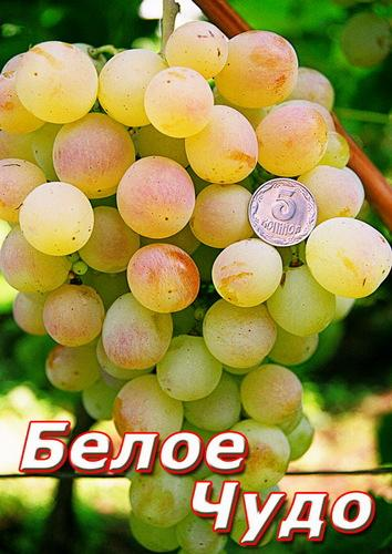 Белое чудо виноград