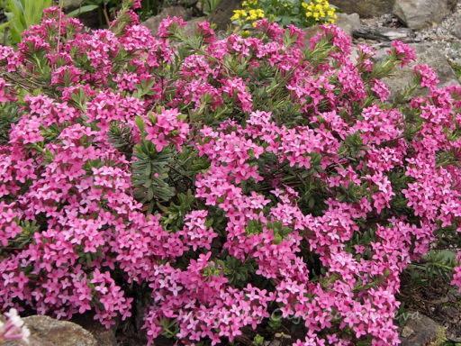 Розовый кустарник в сад