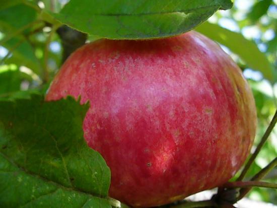 Яблоня спартак