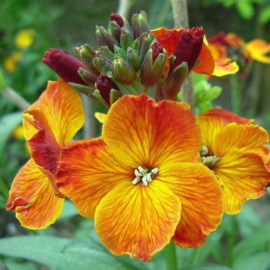 Цветок хейрантус