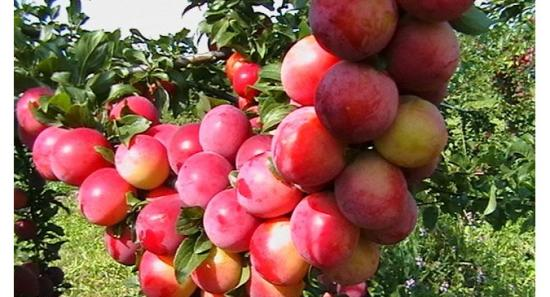 Персиковая слива