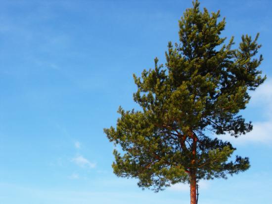 Дерево сосны