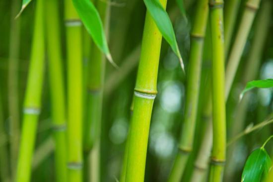 Плантация бамбука